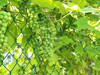 chain link fence grape flowers
